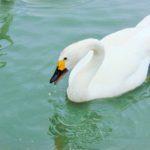 swan at slimbridge